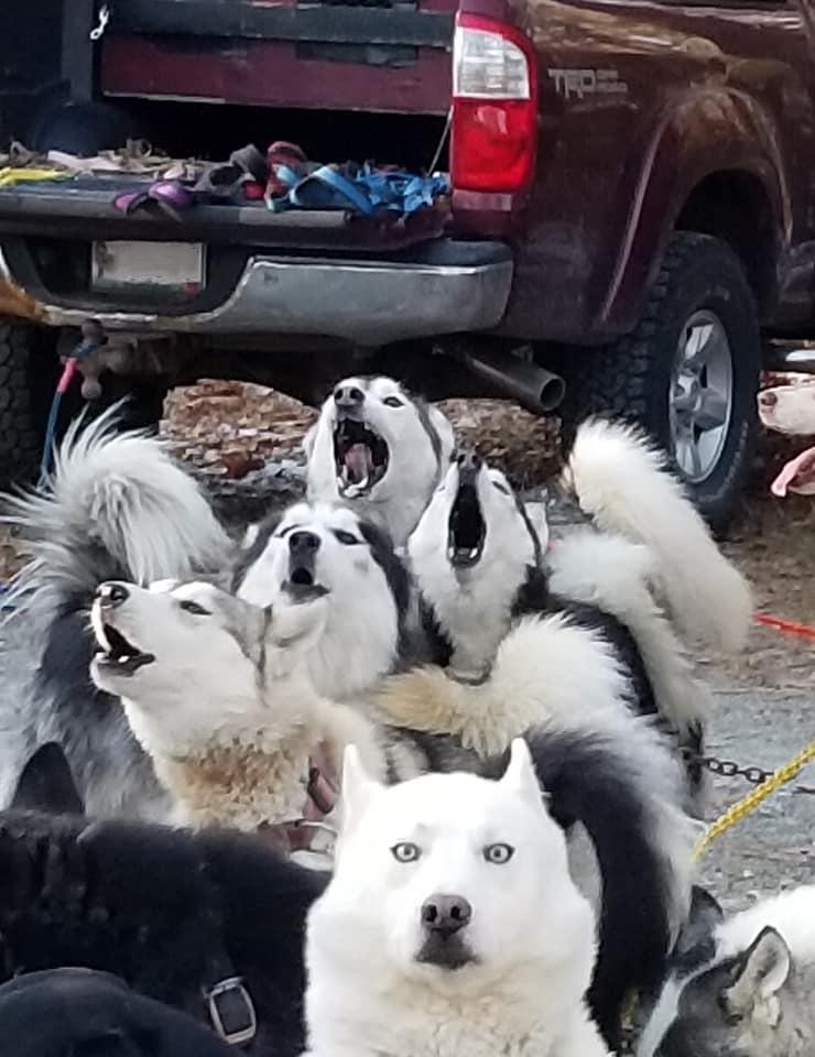 Dogs singing.